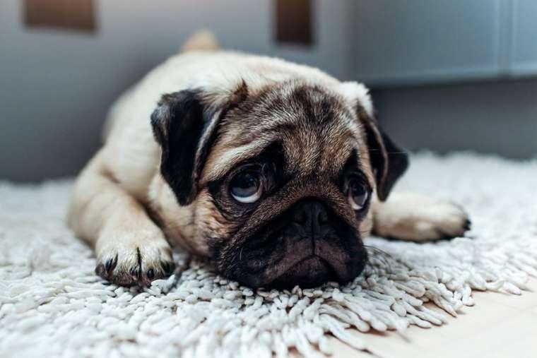 Remonter le moral à un chien